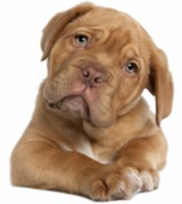 kisspng-dogue-de-bordeaux-english-mastiff-perro-de-presa-c-dogs-5ab3b3f47f9484.6395574115217264525226-1541858337@x1600.png